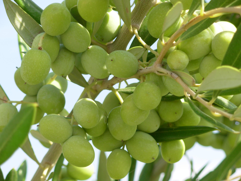 Der richtige Zeitpunkt | gute Oliven, gutes Olivenöl?